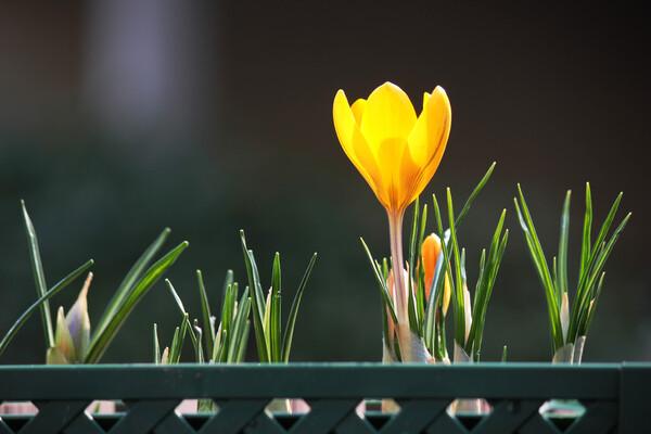 一番咲き、黄色のクロッカス。