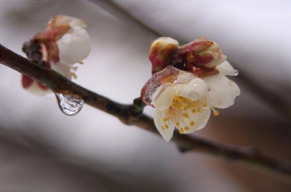 白い梅の花がフリーズ