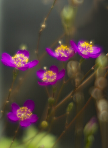 東京の花 赤紫