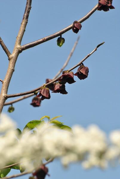 幻の果物の花
