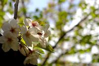 大島川沿いの桜