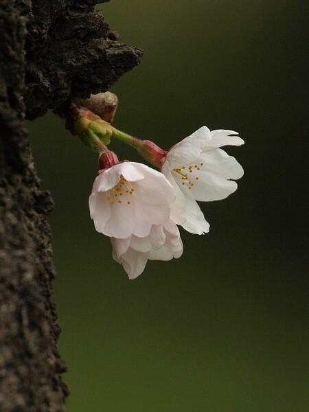 「淡紅色の開花」