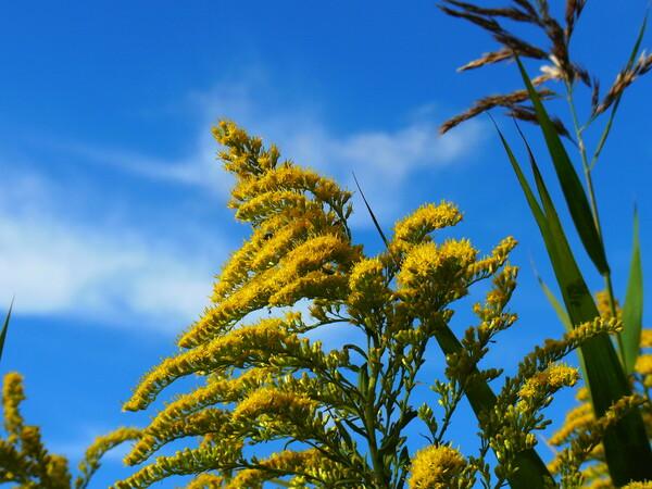 秋の青空とセイタカアワダチソウ
