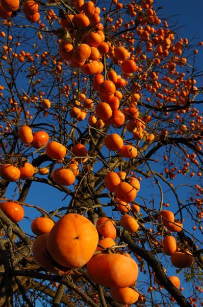 柿、柿、柿…