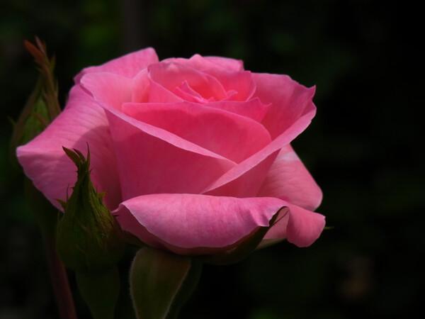 バラ【色】の薔薇
