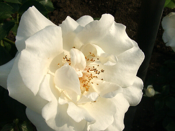 ★09春バラ・セレクション-57