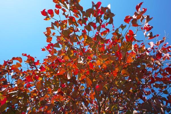 庭木の紅葉
