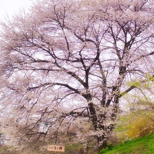 【スクエア】いいちこ桜