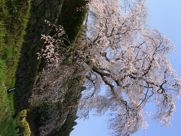 【桜】奈良遠征【宇陀】