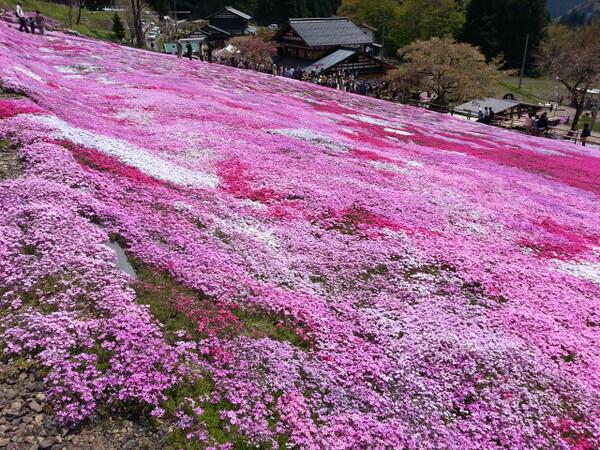 【5月】国田さんちの芝桜