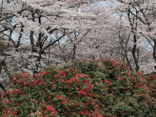 【日本】の花〜桜と椿〜