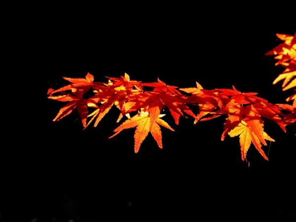 夕日に染まる【紅】葉
