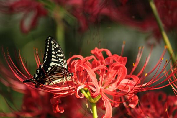 囚われた蝶