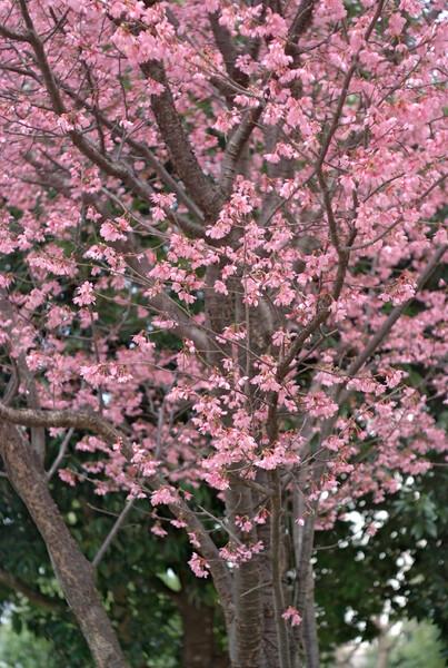 「ザ・ワールド」日本の心 桜