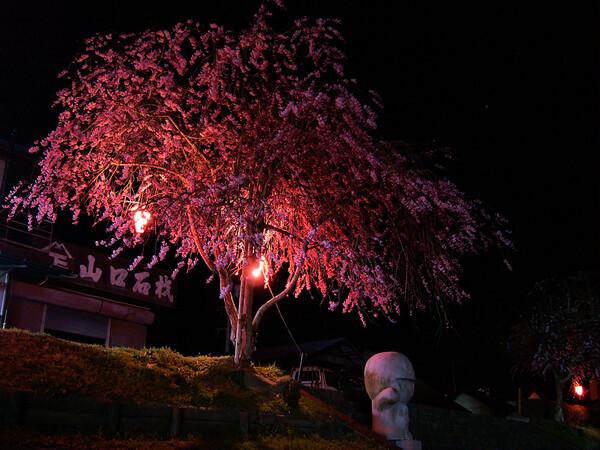 枝垂れ桜と硬いドラエモン!