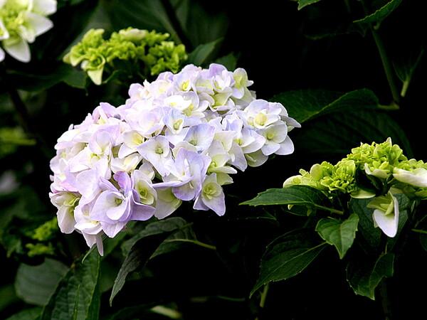 庭の白いアジサイUP