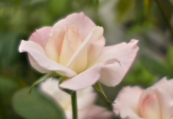 東京の花 バラ
