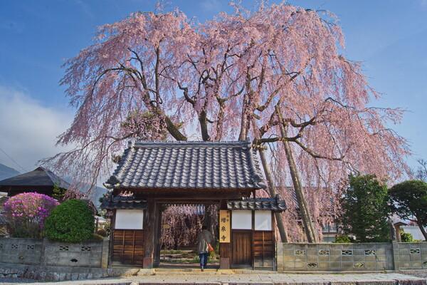 増泉寺の枝垂桜2015