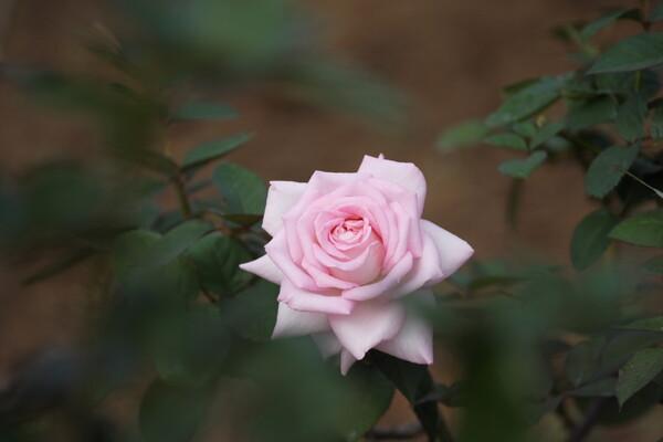深窓の薔薇