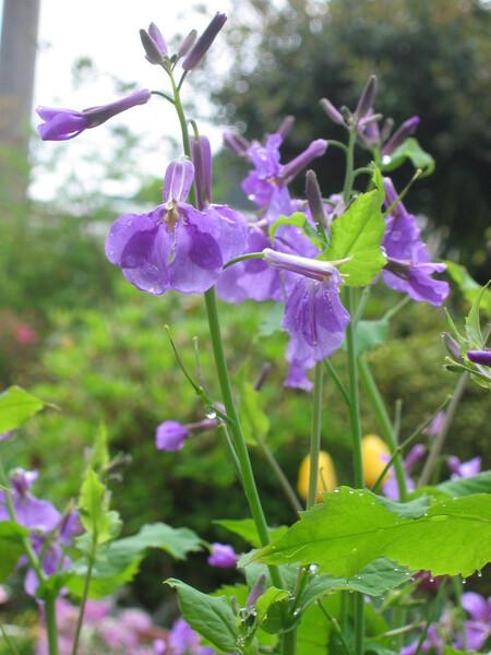 では、「紫大根の花」を!