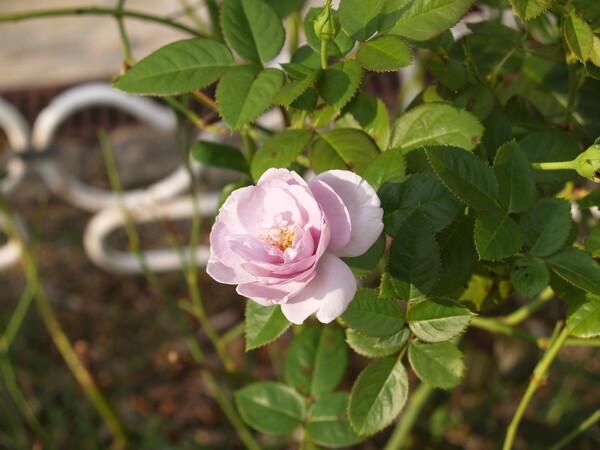 薔薇にはトゲが