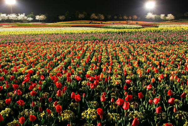 チューリップ畑 夜景