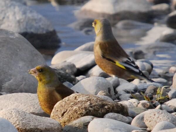 河原でカワラヒワ