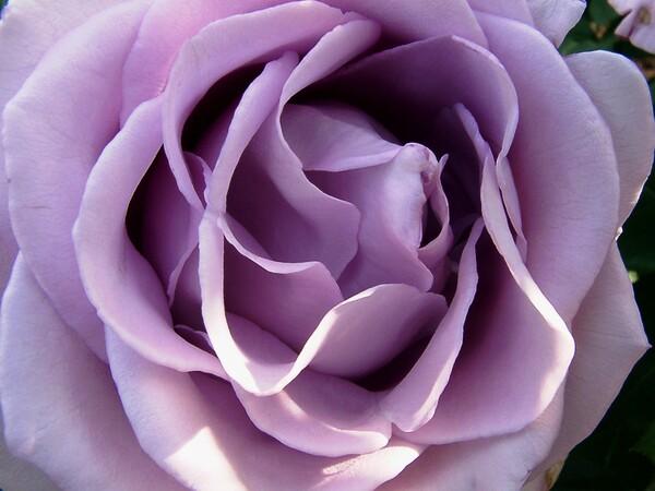 ★09春バラ・セレクション-54