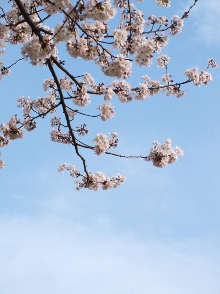 桜の下に雲