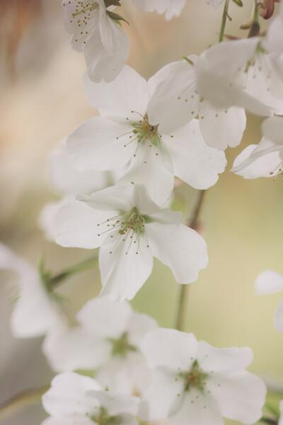 SD15で桜の写真など