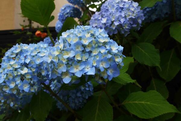 【五月】紫陽花の季節が