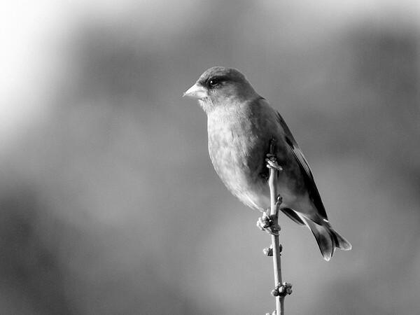 【モノクロ】また鳥ですが
