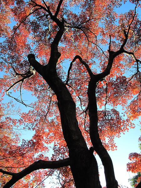 [逆光]街の紅葉