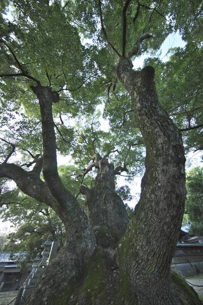 八柱神社の大クス