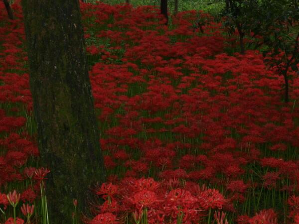 【花のある情景】 曼珠沙華