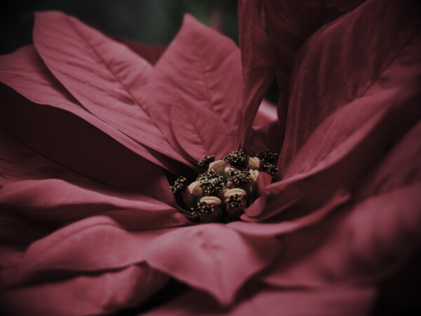 【花】poinsettia