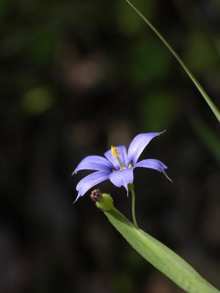 【植】藍色庭石菖
