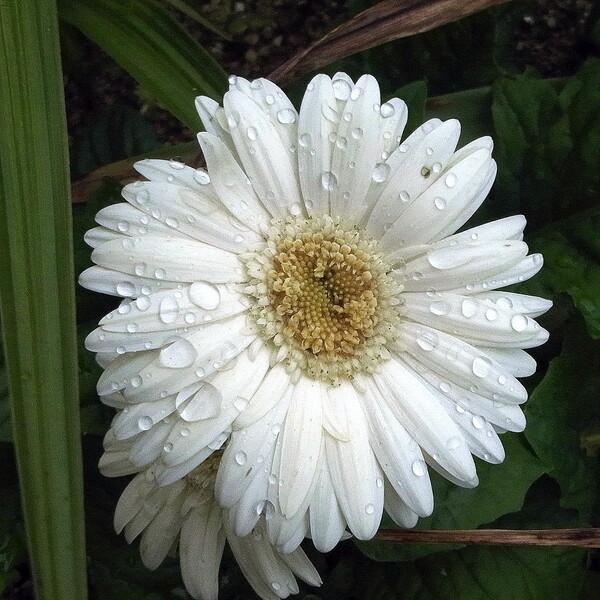【初夏】雨の中の白い花