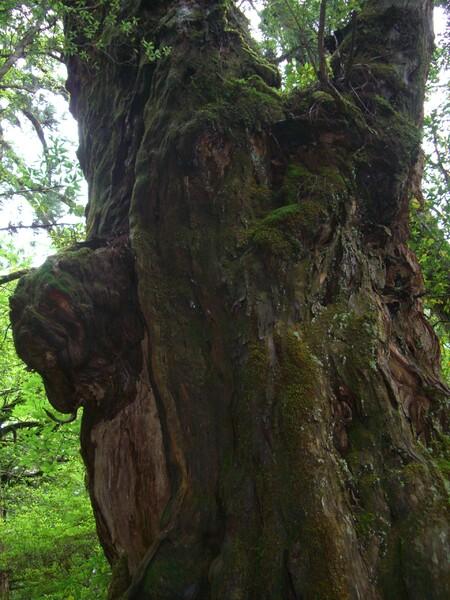 ヨーダの住む木?