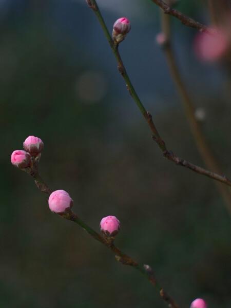 「ザ・ワールド」魅ー花桃の蕾