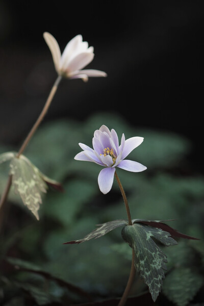 ユキワリイチゲが咲きました。