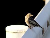 ハクセキレイの幼鳥 1