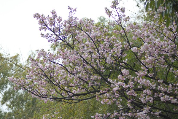 山裾の竹やぶと林の間に咲いた八重桜