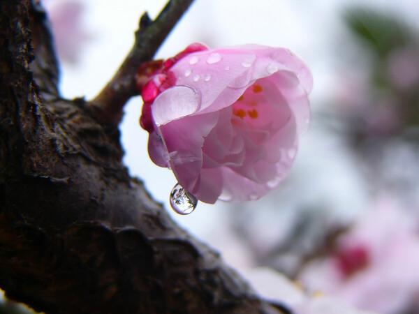 雨上がりの紅梅ちゃん
