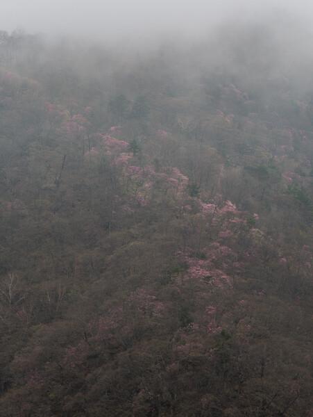 霧にかすむ桜並木