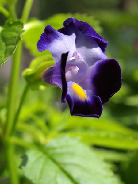トレニア(紫)