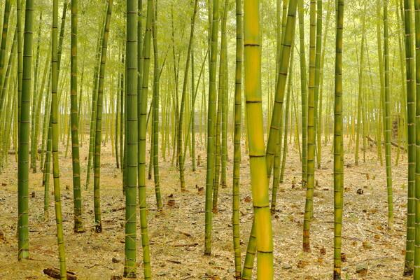 楽しみな竹林