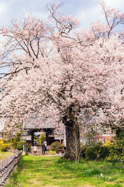 【はな】松源寺の桜