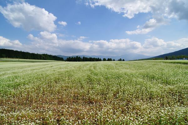蕎麦畑の【広がり】