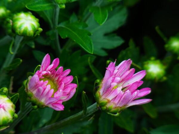 CX4のピンク
